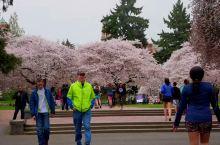 华盛顿大学樱花视频版。