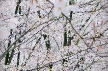 惊艳世界的贵州万亩樱花,置身其中宛如仙境