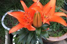 这颗百合好几年了 每年都会开一次 一次2-5朵不等 茉莉花是京东上买的,没错,京东,没几个月就开花了