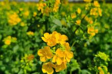 油菜花盛开的季节。远看像黄色的地毯,虽然看花的人不多,但是也一直络绎不绝,京南看油菜花的好地方,淡淡