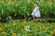盛夏向日葵花季到来,魔都赏花