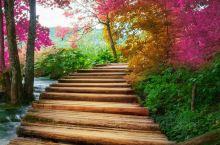 本溪关门山的秋日枫叶漫天地,早上的朝霞日映着红枫的颜色也如晚霞一般,一天到晚都是红霞映天,喜庆的红色