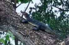 大蜥蜴在树上休息
