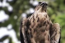 植物园的鹰