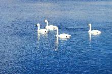 打卡新疆丨赛里木湖偶遇白天鹅