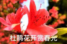 杜鹃花开赏春光