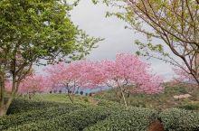 大美樱花园(「・ω・)「嘿