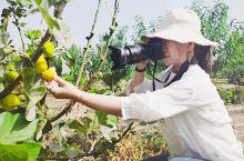 新疆库尔勒除了有香梨,还有比蜜甜的无花果