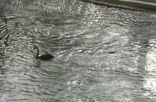 自由自在的鹅