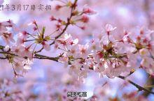 贵州平坝:全球最大樱花观赏地