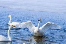 赛里木湖的天鹅和那拉提的冰百合