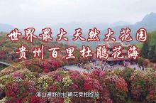 世界最大天然大花园,贵州百里杜鹃花海景区