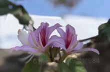 蓝樱花的南非