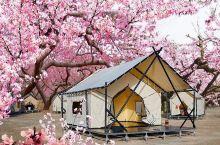 杏花季,KUKOSILU营地春光暖阳