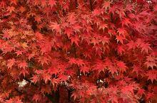 青西郊野公园的红枫