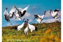 扎龙湿地保护区的丹顶鹤,可以零距离的接触拍摄,它们不惧怕游客和摄影人,也不慎怕大红、大绿这些颜色鲜艳