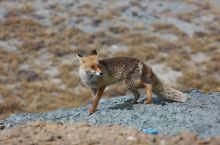 阿里地区偶遇赤狐