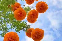 有的菊花全开了,露出鹅黄的花蕊;有的菊花半开着,像位害羞的小姑娘,尤其是含苞欲放的花骨朵儿,在绿叶的