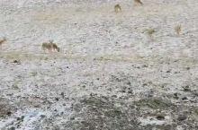 可可西里无人区的藏羚羊!