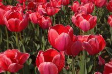 今年花开逛咸阳 ,郁金香花香醉游人。