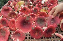 承德兴隆水岸人家民宿捡蘑菇,五颜六色蘑菇