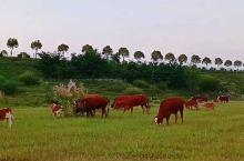 家乡河~渭河~ 河床草地上的牛群…… ~家乡美! ~我爱家乡~