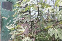 秋季的无花果树