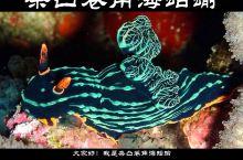条凸卷角海蛞蝓