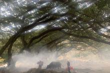 在几颗老榕树下,雾气弥漫,光线从树叶间倾泻而下