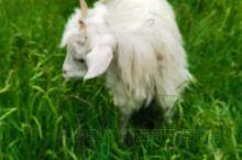 草原上的白色精灵🧚♀️……夏天的阿尼玛沁不仅有洁白的雪山,还有可爱的白藏🐑,太喜欢这美丽的绿色大草