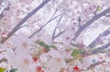 来韩国这么多年,甚少有时间漫步樱花树街…
