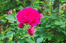"""盛开的蔷薇(俗称""""七姊妹"""")"""