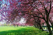 【爱丁堡】樱花季