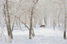 白雪皑皑的土地。银装素裹。雪挂布满了整个画面。一只。北域的夕阳。可爱的小羊漫步在冰天雪地之中更显得潇