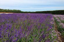 日本北海道的熏衣草花园,北景是十胜山。