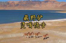 藏野驴,你知道它是怎样的一级保护动物吗?