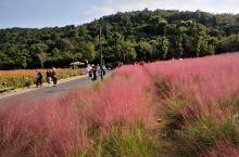 拈花湾,漫山遍野的粉红…
