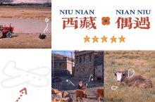 【牛年真牛】西藏旅途中的牛你喜欢哪一种?