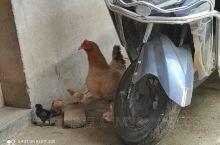 好爱玩的小鸡