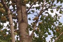满树的果子好似葡萄