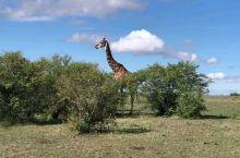 美丽的长颈鹿