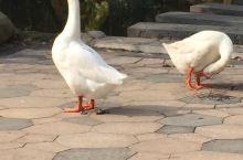 鹅,鹅,鹅