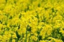 北海道的泷川市的油菜花田非常有名