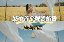 金色稻田 | 浙中首个观赏稻田「绝美」