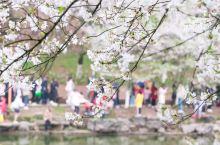 樱花胜雪话春天