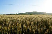 麦子再过20天就要收割啦