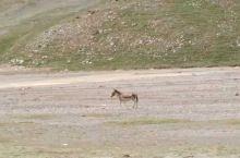 看到了藏野驴