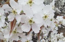 千年古梨兰州什川的一大景色,每年春夏是人们赏花纳凉品茶休闲的好地方,这里梨树多茶园多,各家有各家的特