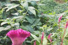 农村路边的花,长得特别