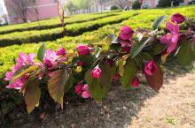 北美海棠 平常见到的海棠都是西府海棠居多,这个见的比较少,公园见到介绍说是北美海棠, 北美海棠属蔷薇